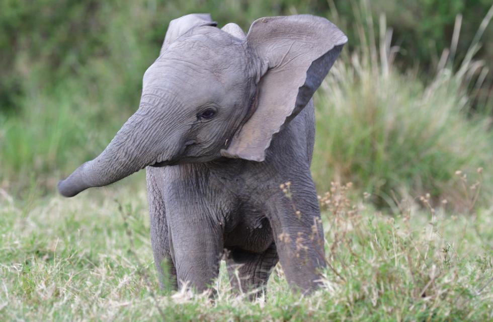 アフリカゾウの画像 p1_35